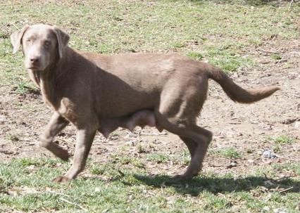 Silver Labs Hunting This is Nicole Silver Lab